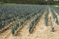 Rows of garlic. Growing on a farm Stock Photos