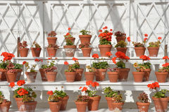 Rows of geraniums Stock Photos