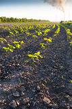 Field with green sunflowers Royalty Free Stock Photo