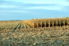 Rows of golden dry maize plants awaiting harvest Stock Photos