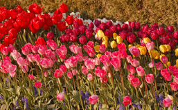 Rows of Gorgious Tulip Blossoms Stock Image