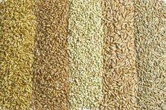 Rows of grain. Rows of several sorts of grain Royalty Free Stock Photos