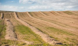 Grain feilds. Rows of grain fields in Scotland. Barley cut on it`s way to distilleries to make whisky in Spey side. Spey Scotland Royalty Free Stock Photo