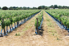 Rows of Grape Plants in a Wine Vineyard Stock Photos
