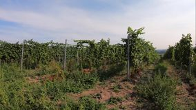 Rows of grape trunks with bunches of ripe white vine berries. And grassy lanes between bushes grown in vineyard farm, trucking shot. View to vinery lines with stock video