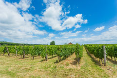 Rows of grape vine Stock Photography