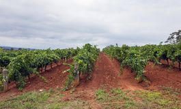 Rows of grape vine with a cloudy sky. Stock Photos