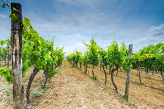 Rows of grape vine in fields Stock Photos