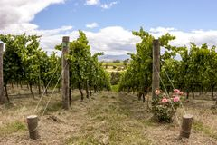 Rows of grape vine. Wine valley in Barossa, South Australia stock photography