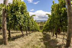 Rows of grape vine. Wine valley in Barossa, South Australia stock images