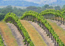 Rows of Grape Vines. Rows of grapevines at a central California winery Stock Photo