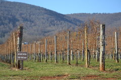 Rows of grape vines. At a winery stock images