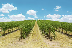 Rows of Grape Vines. Australian wineries rows of grape vines taken on a bright and sunny day Royalty Free Stock Photography
