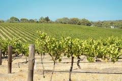 Rows of Grape Vines Stock Photos