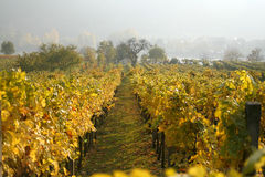 Rows of grape vines in Austria. Rows of grape vines at a vineyard in Krem Austria Royalty Free Stock Photography