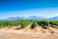 Rows of grape vines with blue mountains in background Stock Photos