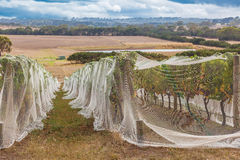 Rows of grape vines covered with bird netting and countryside Stock Photography