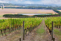 Rows of grape vines going down the hill Stock Photo