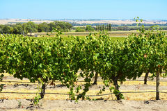 Rows of Grape Vines Royalty Free Stock Photos