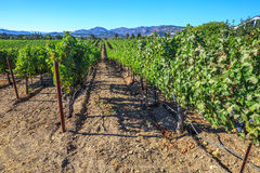 Rows of grape vines. Lush, ripe wine grapes on the vine. Napa Valley, a world famous wine area, is one of the most popular tourist destinations in California Royalty Free Stock Photography