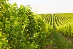 Rows of grape vines in Mikulov Royalty Free Stock Image