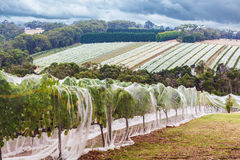 Rows of grape vines protected with bird netting Royalty Free Stock Images