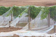 Rows of grape vines protected with bird netting closeup Stock Photos