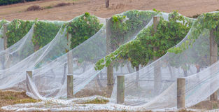 Rows of grape vines protected with bird netting closeup Royalty Free Stock Photos