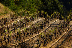 Rows of grape vines on a rolling hillside Stock Images