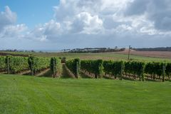 Rows of Grape Vines in a Vineyard. Row after row of green grape plants cover the landscape of an Australian vineyard under a pale blue summer sky with cirrus royalty free stock images