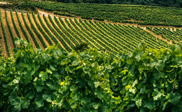 Rows of grape vines Royalty Free Stock Photos