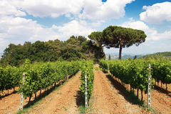 Rows of Grape Vines in Tuscany Vineyard, Italy Stock Photography