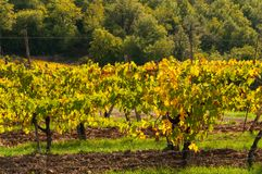 Rows of grape vines at vineyard in autumn , Chianti, Tuscany, Italy.  stock photography
