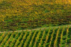 Rows of grape vines at vineyard in autumn , Chianti, Tuscany, Italy.  royalty free stock images