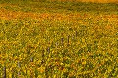 Rows of grape vines at vineyard in autumn , Chianti, Tuscany, Italy.  royalty free stock photos