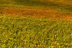 Rows of grape vines at vineyard in autumn , Chianti, Tuscany, Italy.  stock images