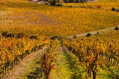 Rows of grape vines at vineyard in autumn , Chianti, Tuscany, Italy.  royalty free stock photography