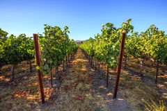 Rows of grape vines. Vineyard in Napa Valley, San Francisco Bay Area in northern California, USA Stock Images