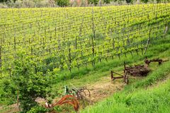 Rows of grape vines at a vineyard near Montalcino, Val d`Orcia, Royalty Free Stock Photography