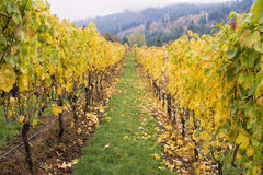 Rows of Grape Vines in Vineyard Stock Images