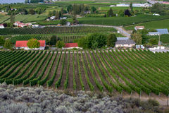 Rows of grape vines and vineyards Stock Images