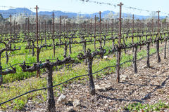Rows of Grape Vines Royalty Free Stock Images