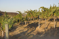 Rows Of Grape Vines On A Wire Fence Royalty Free Stock Photos