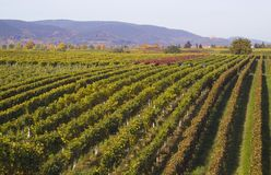 Rows of grapes. Vinefields on the south of Germany Stock Image