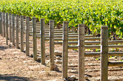 Rows of Grapes Royalty Free Stock Image