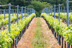 Rows of grapes Stock Image