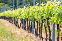 Rows of grapes Stock Images