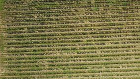 Rows of grapes in georgia stock footage