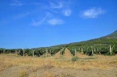 Rows of grapes. Stock Photos