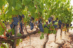 Rows of grapes Stock Photography